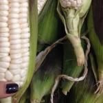 Seleccionando el maíz que vamos a utilizar